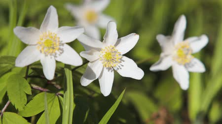 trzy : Three anemones with white petals swaying in the wind. Close-up of spring, early flowers