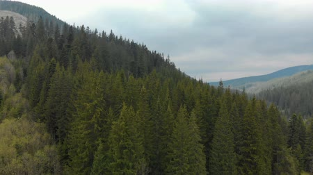 köknar ağacı : High, perennial pine trees on the background of mountain hills, aerial view of the Carpathian mountains, 4k