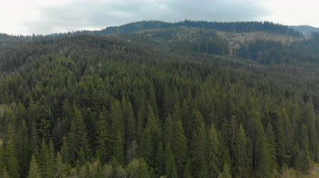 köknar ağacı : Beautiful, picturesque view of the mountain forest in the large, old coniferous trees. Aerial filming