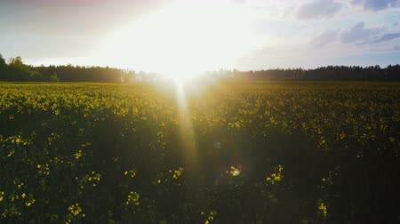 kwiaty polne : The field of rapeseed plants is yellow against the background of the sun setting behind the clouds. Interval shooting. Timelapse Wideo