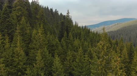ladin : Flying over the tops of trees, coniferous green firs, against the backdrop of a picturesque landscape of the highlands. Aerial view Stok Video
