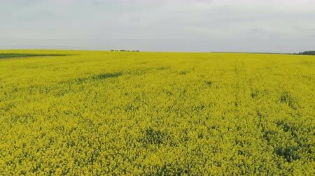 Takeoff over the flowers of rapeseed plants. Flying over the yellow agriculture field Stock Footage