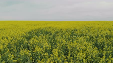 Top view of the flowers of rapeseed plants. Flying over a yellow agricultural field. Moving the camera backwards