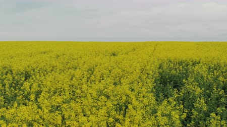 Top view of the flowers of rapeseed plants. Flying over a yellow agricultural field. Moves the camera left Stock Footage