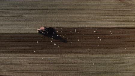 földműves : Aerial drone shot on red tractor with dual wheels doing the processing brown soil with a disc cultivator. The machine is followed by many white birds picking up worms from ploughing