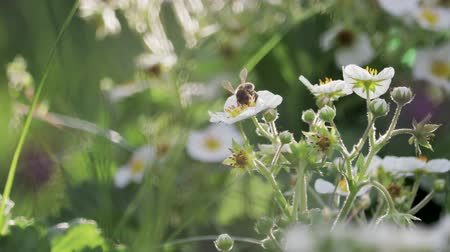 Honey bee collects nectar on white strawberry flowers. Blooming Bush of strawberries. Abundant flowering of strawberry. Flowers of white strawberries, illuminated by the sun, close-up.