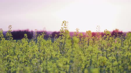 olej : Magnificent beauty of the yellow flowers of rapeseed plants close-up swaying in the wind in the rays of the gentle evening sun. Environmentally friendly raw materials for oil and biofuel production