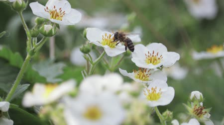 asa : Honey bee collects pollen from flowers, flying from one flower to another