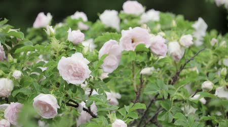 Blooming rose Bush. Roses swaying in the wind. Pink roses flowers on a beautiful rose Bush in the garden in the morning in summer Stock Footage