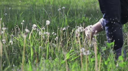 knock : Bare feet whipped white fluff of a dandelion. Guy in jeans runs on green the grass. Fun, summer and nature