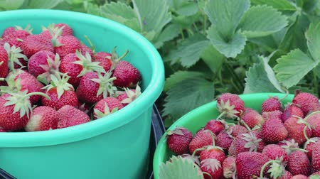 industria alimentare : Two buckets of ripe strawberries standing among the green bushes in their own garden on a summer farm. The concept of farming, gardening business Filmati Stock