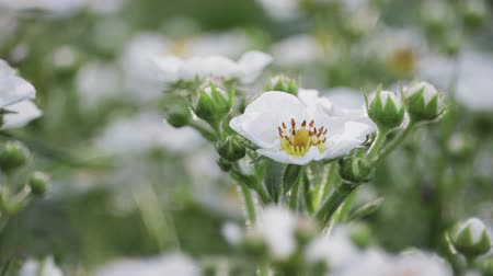 junho : Beautiful white flowers garden strawberries, illuminated by the sun, swaying in the wind. Close up