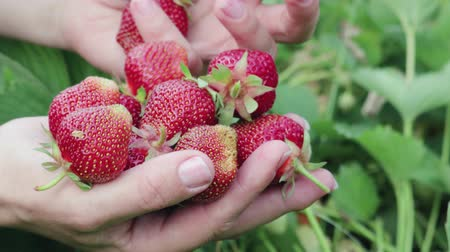 összetevők : Close-up of female hands collecting in the palm of a ripe red strawberry from green plants in the garden. Healthy food concept Stock mozgókép
