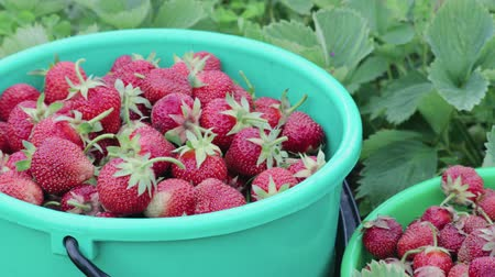диеты : Two green buckets of ripe strawberries stand among the plants in their own garden on a summer farm. The concept of business in agriculture, horticulture
