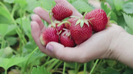 vitamina : Hand harvesting ripe strawberries in the garden on the farm
