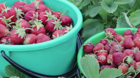 rijp : Two green buckets with a harvest of ripe strawberries standing in the garden on a fruit farm. The concept of business in agriculture