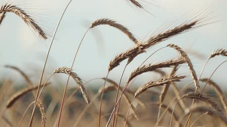 kenyér : Close-up of ears of dry ripe Golden wheat in an agricultural field in Sunny summer weather. The concept of the rural landscape, a rich harvest