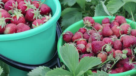 собственность : Two green buckets of ripe strawberries stand among the plants in their own garden on a summer farm. The concept of business in agriculture, horticulture