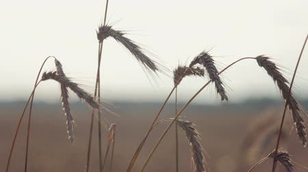 összetevők : Close-up of several ears of rye, wheat orange, slightly waving in the warm summer wind. Concept of natural products