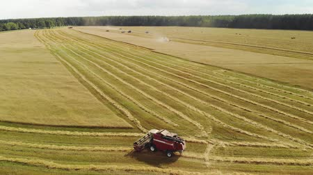 rijp : Aerial view of several red harvesters harvesting crops in Sunny summer weather and dump trucks waiting for the shipment of grain. The concept of agribusiness