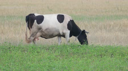 pastoral land : Side view of a dirty white cow on a leash with black spots grazing in a green meadow and eating organic fresh grass. The concept of agribusiness in animal husbandry, milk production