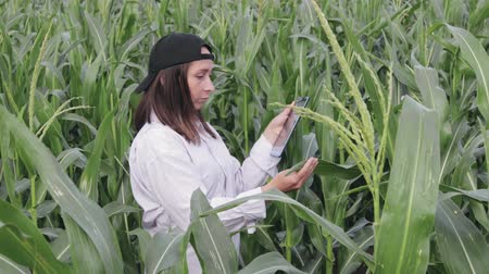 kukoricacső : A young woman researcher stands in a field in special clothes and holds a tablet in her hand, she examines the ears of corn. The concept of agribusiness