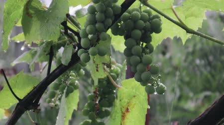 ogrodnictwo : A bunch of green grapes hangs in a heavy downpour in the vineyard. Raindrops fall on the vine Wideo