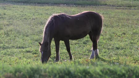 çiftlik hayvan : Red horse on a leash with white spots on the muzzle and hind legs grazing in a summer meadow and eating fresh green grass in the evening in Sunny weather. Concept of agribusiness, horse breeding