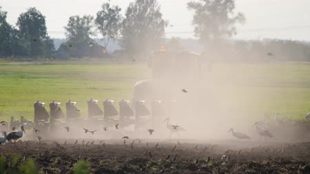 agricultural lands : Lot of wild birds, white storks and sparrows looking for food on the background of a tractor with massive ploughshares processing the dusty dry soil for sowing. The interaction of humans and animals Stock Footage