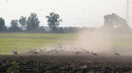 трактор : Lot of wild birds, white storks and sparrows looking for food on the background of a tractor with massive ploughshares processing the dusty dry soil for sowing. The interaction of humans and animals Стоковые видеозаписи