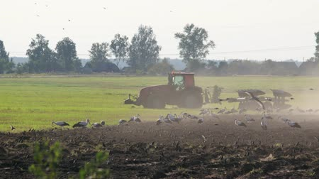 subsistence : Modern farmer on the tractor cultivating the dusty brown soil on a Sunny summer evening. Many birds of white storks follow the agricultural machine in search of food. The concept of agribusiness