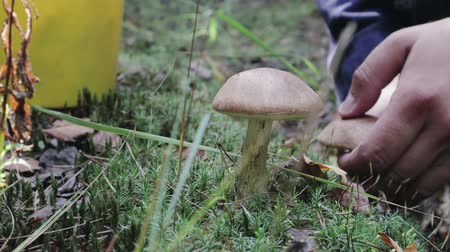 összetevők : A man with a yellow bucket walks up to two aspen trees on the lawn and cuts off his prey with a knife. The amount of nutritious mushrooms. The concept of natural forest gifts Stock mozgókép