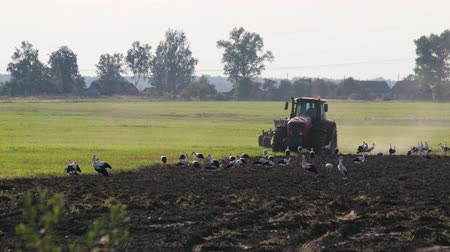 çiftlik hayvan : Modern farmer on the tractor cultivating the dusty brown soil on a Sunny summer evening. Many birds of white storks follow the agricultural machine in search of food. The concept of agribusiness