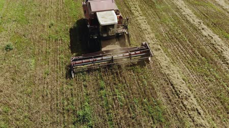 tahıllar : Aerial view of the combine harvester harvesting oat field. The summer crop from the point of view of the drone. Top view of the header with reel and auger Stok Video