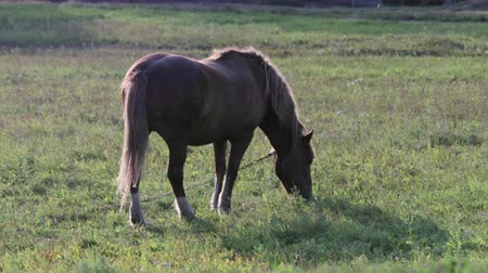 çiftlik hayvan : A brown horse with white spots eats green grass on the field, it is tied with an iron chain. Concept of helping a pet for a human Stok Video
