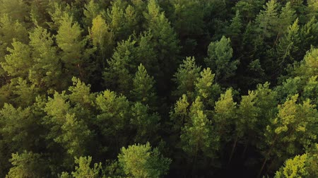atmosféra : Cinematic shot top view of a mysterious mystical coniferous forest from a horror movie. The concept of anxious waiting, unexpected finding Dostupné videozáznamy