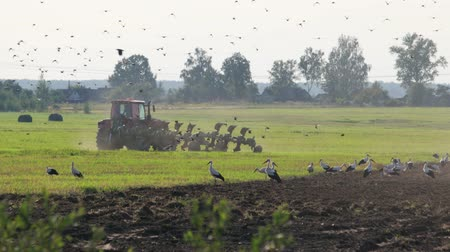 çiftlik hayvan : View of a farmer on farmland in a modern red tractor with tillage unit, lots of small birds, white storks and cars in the foreground. The machine operator turns the ploughshares when plowing the soil