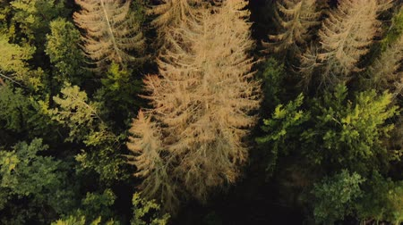 köknar ağacı : Drone shot of the top view of the dense green forest with individual dry red crowns of fir trees damaged by a bark beetle. Pest epidemic in forestry. Contaminated wood to be cut down Stok Video