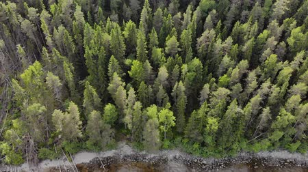 köknar ağacı : Aerial view of the many peaks fir trees near the pond. Drone moves from the forest to the rocky shore. The trunks of dry fallen trees lie in the downward direction. The concept of negligent forestry