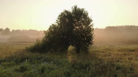 crepúsculo : Magical rays of the rising sun make their way through the branches of a green tree standing on the field in the summer foggy time. Aerial view Stock Footage