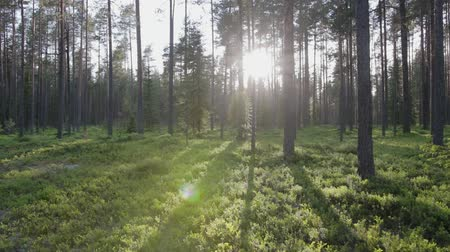 cienie : Steadicam shot of bright sunlight in a dense coniferous forest with blueberry plants on a warm summer day