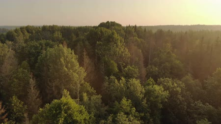 lucfenyő : Stunning sunrise over the misty forest. Aerial view of the tops of coniferous and deciduous trees with the soft light of the rising sun. Cinematic shot of wild countryside Stock mozgókép