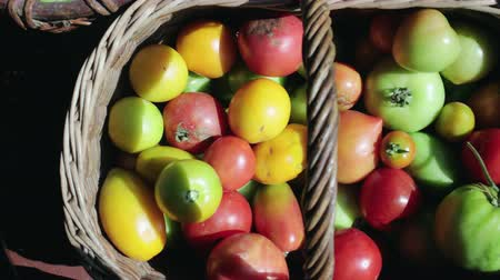 диеты : Top view of colorful tomatoes, red, yellow, orange, green in vintage wicker basket on farm in summer. Fruits are damaged by Phytophthora Стоковые видеозаписи