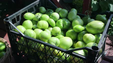 vitamina : Lots of unripe green tomatoes are stacked in a black plastic box on the market. Harvesting for seasonal pickling and canning vegetables. The concept of agribusiness