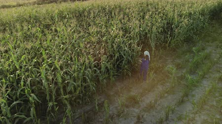 enredo : Aerial view of a circular flyby of a woman agronomist in overalls with an electronic tablet in her hands. An agricultural worker inspects the plot of corn plants and enters data into the device