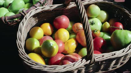 ogrodnictwo : Top view of colorful tomatoes, red, yellow, orange, green in vintage wicker basket on farm in summer. Fruits are damaged by Phytophthora Wideo