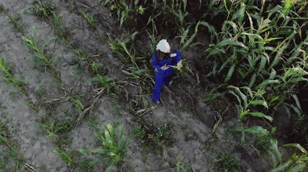 шелуха : Aerial view of a female agronomist in overalls with a tablet computer in an agricultural cultivated corn field. The concept of modern technologies in agriculture. Warm Evening weather in the summer