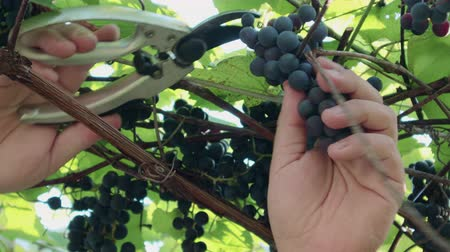 vybírání : Pruning and harvesting. A hand with a pruner cuts a large, ripe, blue vine. Grape variety Isabella Dostupné videozáznamy