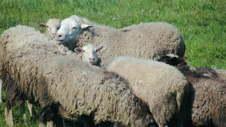 çiftlik hayvan : A few young sheep huddle together in a green meadow and bask in the cold wind, and some animals look at the camera and chew the grass. A flock of free-range Stok Video