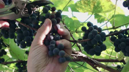 shluk : Close-up of a human gardener picking black grapes on a vine in a vineyard in sunny summer weather. Concept of wine from the Isabella variety